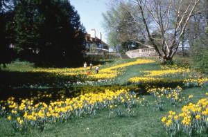 Daffodil Hill, 1985