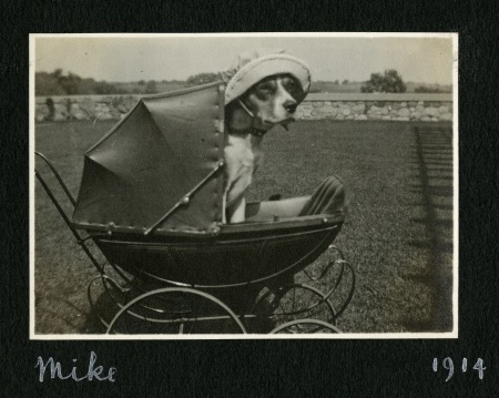 Mike the beagle, being pushed in a doll stroller... wearing a canvas hat!